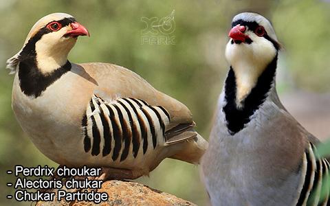 Perdrix choukar – Alectoris chukar – Chukar Partridge – xopark3