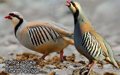 Perdrix choukar – Alectoris chukar – Chukar Partridge – xopark5