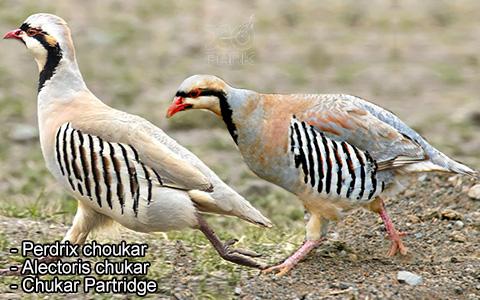 Perdrix choukar – Alectoris chukar – Chukar Partridge – xopark6