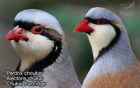 Perdrix choukar – Alectoris chukar – Chukar Partridge – xopark8