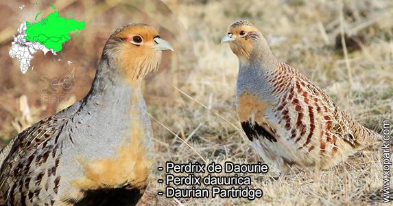 Perdrix de Daourie - Perdix dauurica - Daurian Partridge - Phasianidae