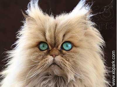 Persan, Iranian cat ,Persian Longhair, Shirazi
