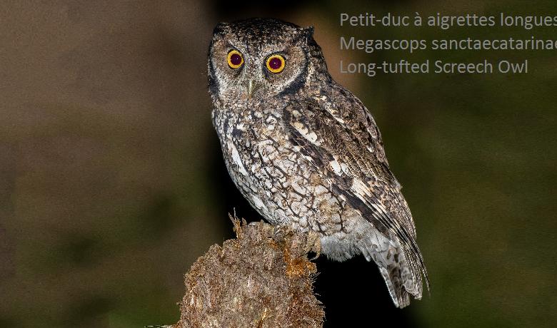 Petit-duc à aigrettes longues - Megascops sanctaecatarinae - Long-tufted Screech Owl