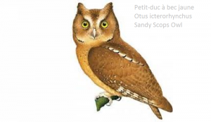 Petit-duc à bec jaune - Otus icterorhynchus - Sandy Scops Owl
