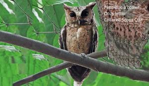 Petit-duc à collier - Otus lettia - Collared Scops Owl