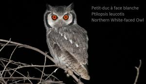 Petit-duc à face blanche - Ptilopsis leucotis - Northern White-faced Owl