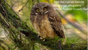 Petit-duc à gorge blanche - Megascops albogularis - White-throated Screech Owl