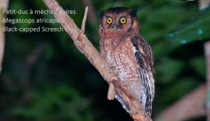 Petit-duc à mèches noires - Megascops atricapilla - Black-capped Screech Owl