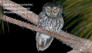 Petit-duc à moustaches - Megascops trichopsis - Whiskered Screech Owl