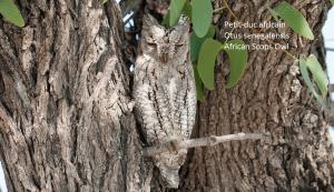 Petit-duc africain - Otus senegalensis - African Scops Owl