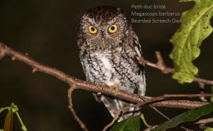 Petit-duc bridé - Megascops barbarus - Bearded Screech Owl
