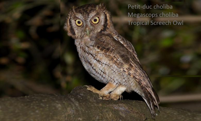 Petit-duc choliba - Megascops choliba - Tropical Screech Owl