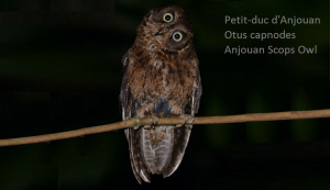 Petit-duc d'Anjouan - Otus capnodes - Anjouan Scops Owl
