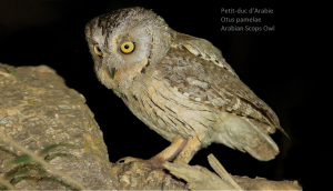 Petit-duc d'Arabie - Otus pamelae - Arabian Scops Owl