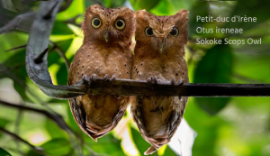 Petit-duc d'Irène - Otus ireneae - Sokoke Scops Owl