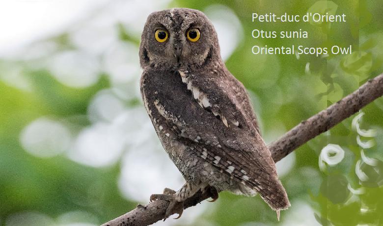 Petit-duc d'Orient - Otus sunia - Oriental Scops Owl