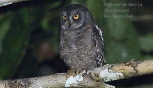 Petit-duc de Beccari - Otus beccarii - Biak Scops Owl