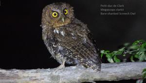 Petit-duc de Clark - Megascops clarkii - Bare-shanked Screech Owl
