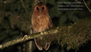 Petit-duc de Colombie - Megascops colombianus - Colombian Screech Owl