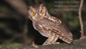 Petit-duc de Cooper - Megascops cooperi - Pacific Screech Owl