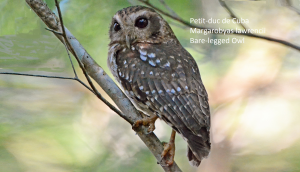 Petit-duc de Cuba - Margarobyas lawrencii - Bare-legged Owl