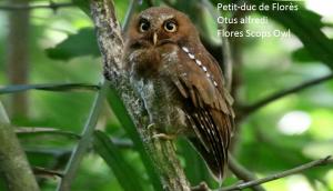 Petit-duc de Florès - Otus alfredi - Flores Scops Owl