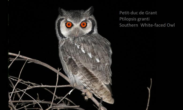 Petit-duc de Grant - Ptilopsis granti - Southern White-faced Owl