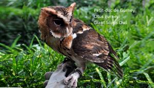 Petit-duc de Gurney - Otus gurneyi - Giant Scops Owl