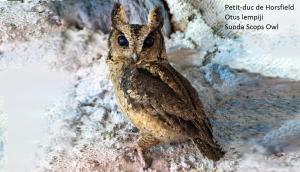Petit-duc de Horsfield - Otus lempiji - Sunda Scops Owl