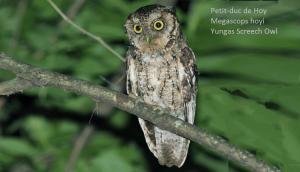 Petit-duc de Hoy - Megascops hoyi - Yungas Screech Owl