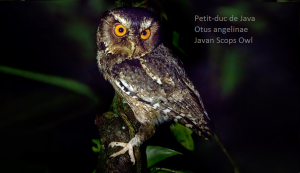 Petit-duc de Java - Otus angelinae - Javan Scops Owl