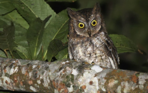 Petit-duc de Lombok - Otus jolandae - Rinjani Scops Owl
