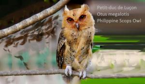 Petit-duc de Luçon - Otus megalotis - Philippine Scops Owl