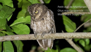 Petit-duc de Mantanani - Otus mantananensis - Mantanani Scops Owl