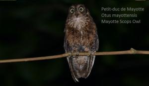 Petit-duc de Mayotte - Otus mayottensis - Mayotte Scops Owl