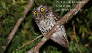Petit-duc de Mindanao - Otus mirus - Mindanao Scops Owl