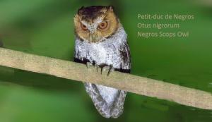 Petit-duc de Negros - Otus nigrorum - Negros Scops Owl
