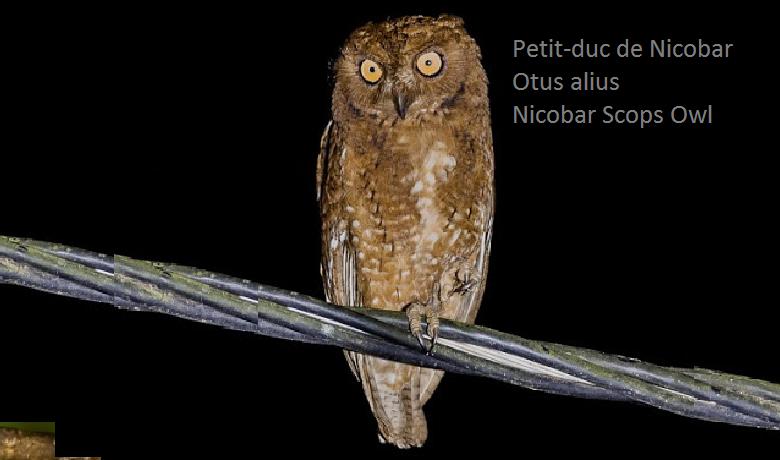 Petit-duc de Nicobar - Otus alius - Nicobar Scops Owl