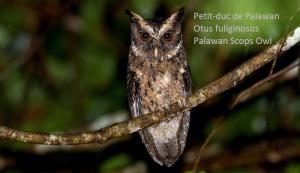 Petit-duc de Palawan - Otus fuliginosus - Palawan Scops Owl