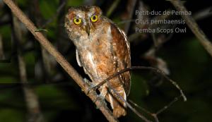 Petit-duc de Pemba - Otus pembaensis - Pemba Scops Owl