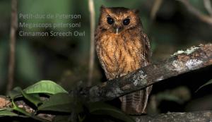 Petit-duc de Peterson - Megascops petersoni - Cinnamon Screech Owl