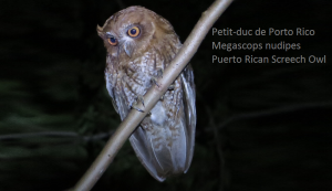 Petit-duc de Porto Rico - Megascops nudipes - Puerto Rican Screech Owl