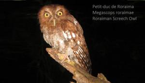 Petit-duc de Roraima - Megascops roraimae - Roraiman Screech Owl