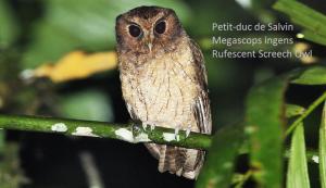 Petit-duc de Salvin - Megascops ingens - Rufescent Screech Owl