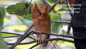 Petit-duc de Sérendip - Otus thilohoffmanni - Serendib Scops Owl