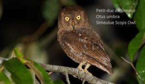 Petit-duc de Simalur - Otus umbra - Simeulue Scops Owl