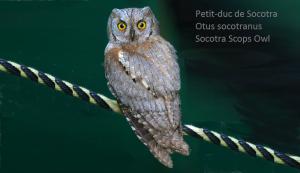 Petit-duc de Socotra - Otus socotranus - Socotra Scops Owl