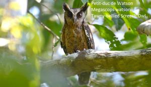 Petit-duc de Watson - Megascops watsonii - TawnyPetit-duc de Watson - Megascops watsonii - Tawny-bellied Screech Owl-bellied Screech Owl