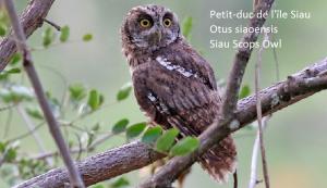 Petit-duc de l'île Siau - Otus siaoensis - Siau Scops Owl