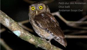 Petit-duc des Andaman - Otus balli - Andaman Scops Owl